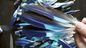 Natural High Quality Blue Color Parrot Feathers 10pcs for Multi Craft Decoration