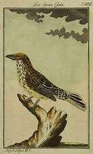 Oiseaux-bandes tyran-tyran cuadec-BUFFON-Kolor. kupfstich 1780