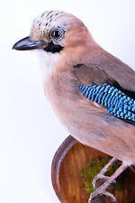 Taxidermy Jay Bird Real animal Stuffed mount Garrulus glandarius