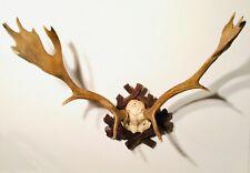 Mounted reindeer rentier rendier renne antler geweih ramure gewei taxidermy