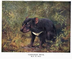 Vintage print by C.E. Swan of a Tasmanian Devil - over 100 years old