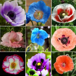 Seeds Poppy Double Oriental Mix Papaver Flowers Perennial Garden Organic Ukraine