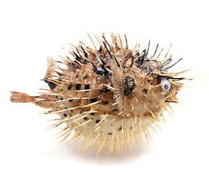 """Puffer Porcupine Real Fish Blowfish 6""""-7"""" Free Shipping, BuytheSeaOnline"""