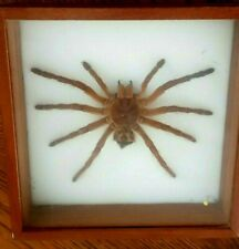 Entomologie - mygale de  Guyane embaumée- Cadre 21 X 21