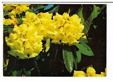 Postcard: Rhododendron Macabeanum, Royal Botanic Garden, Edinburgh