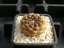 Copiapoa hypogaea !!! OWN ROOT !!! Rare Cactus 06253