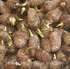 15 Green Taro Elephant Ear Water Lily Bulbs Pond Water Plant Edible