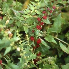 Herb semi-varietà spinacio - 500 semi