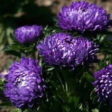 Aster Dwarf Milady Blue 100 Seeds  Garden Seeds 2u