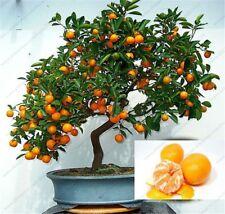 organic fruit Mandarin Orange seeds for Indoor plant bonsai tree 30seeds