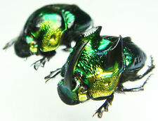Insect - Phanaeus demon - Mexico - Large Pair 20mm+/- ....!!