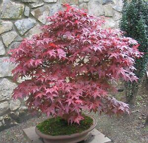 Fächerahorn winterhart für Garten und Terrasse tolle rote Herbstfärbung.