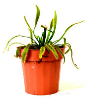 "Cape Sundew Plant - Drosera capensis - Carnivorous - Gift Mature Holiday 3"" Pot"