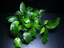 Anubias barteri nana eyes x 2 stalks-live aquarium plant fish tank co2 moss java