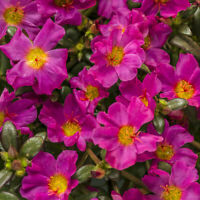 100 Fuschia Moss Rose Seeds Flower Perennial Seed Flowers Garden 130 USA SELLER