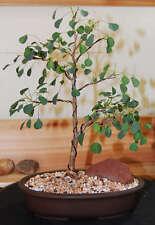 Euphorbia misera, cliff spurge exotic rare pre bonsai cactus cacti seed 5 SEEDS