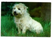 West Highland White Terrier / Westie - Dog Postcard