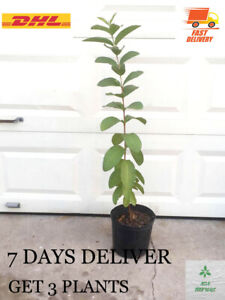 "3 PLANTS, 10""-12"" Red GUAVA LIVE PLANT Nutritious tropical fruit at home"