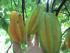"2 Plants 2 pots 14"" Floria Starfruit Averrhoa Carambola Fruit Tree"