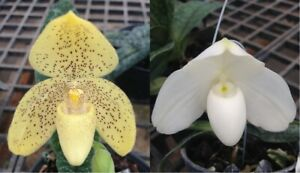 Paph. concolor x Paph. godefroyae alba Orchidee = SEHR SELTEN = EINZIGARTIG!