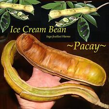 ~ICE CREAM BEAN~ Inga feuilleei PACAY FRUIT TREE Small Potted Starter Plant