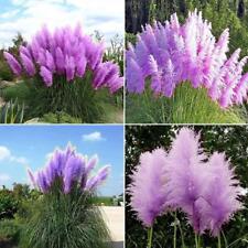 Lila pampas 500 samen Mehrjährige Blumen Samen Pflanzen Hausgarten Decor