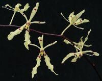 Rare orchid species seedling plant -  renanthera citrina