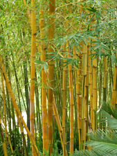 YELLOW BAMBOO Phyllostachys 2L POTTED 5ft Multistemmed Screen Hedge Garden Patio