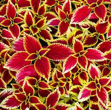 Common Graden Coleus Seed 30 Seed Coleus Wizard Coleus Blumei Foliage Plant F007