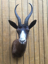 **TROPHY African Black Springbok Sho.Mount**AFRICA SAFARI HUNTING TAXIDERMY # 39