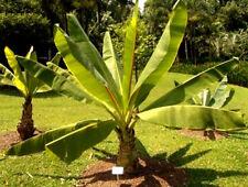 IMPIANTO di banane Etiope - 5 Semi di grandi dimensioni-Ensete Ventricosum MUSA-Pianta esotica