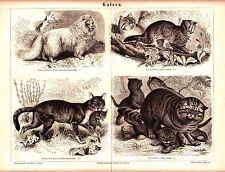 ca 1890 Wild Cats , Turkish Angora Cat Antique Lithograph Print