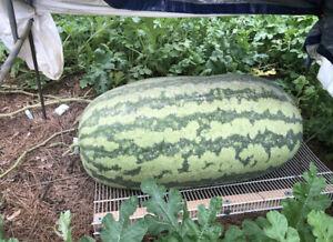 GIANT Watermelon Seeds - LARGE - RARE - Garden Fruit Seeds -