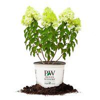 Limelight Hydrangea, Live Plant, Size: 3 Gallon