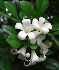 5 graines de BOIS JASMIN (Murraya paniculata) SEEDS SAMEN SEMILLAS SEMENTES
