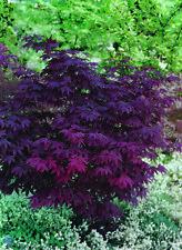 Japanese Purple Maple Tree 15-20cm Acer Palmatum Atropurpureum Plant
