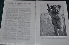 1931 magazine article, The KOALA  BEAR, Australian native Teddy Bear