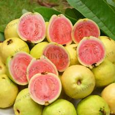 Fresh Sweet Red Guava Psidium Guajava Pink Large Fruits Bonsai NEW 100 PCS Seeds