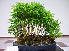 Bamboo tree - 30 bonsai graines-phyllostachys pubescens-truie all year