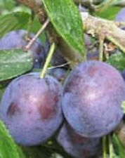 European Purple plum fruit tree seedling hardy sweet plums LIVE PLANT