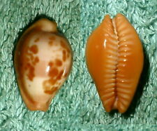 RA RFM 68964 Cypraea surinamensis Perry 1811 20.8mm F++ with octopus hole on ven