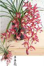 QOB Orchid Plant Fragrant TROPICAL Cascading Cymbidium Mystique - 90mm pot
