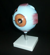 Giant Anatomical Human Eye Model - Medical Ophthalmic Anatomy