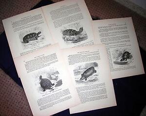 Tortoises - Helmeted Reptiles - 1898 Prang Wood Engraved Print