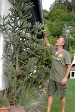 Cylindropuntia imbricata 30 cm der größte winterharte Kaktus Kakteen bis -25° C
