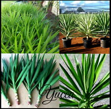 5 X Yucca Plants Tree Green and SILVER STAR Yucka Yucker Plant Landscape