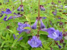200+ Samen Scutellaria lateriflora - Blaues Helmkraut