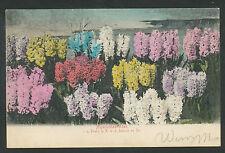 Hijacinthenvelden  i. h. Etabl. v. R. v. d. Schoot en Zn.  1903