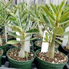 ADENIUM OBESUM 12 pack rare caudex exotic bonsai desert rose Proven flower types