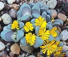 Lithops divergens amethystina, rare mesembs living stones cactus seed  15 SEEDS